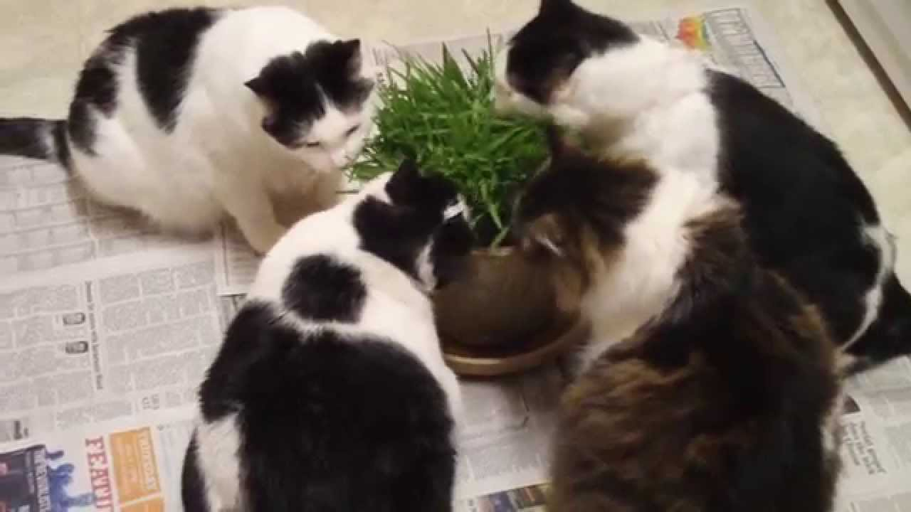2 My Cats First Introduction to Cat Grass which I grew this week