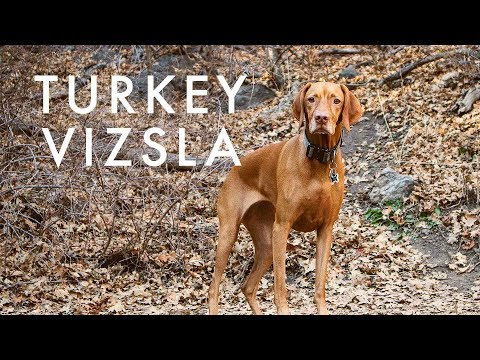 Typical Day for a Vizsla | Video 124