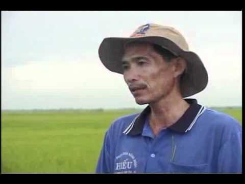Kỹ Thuật Chăm Sóc Cây Lúa Nếp Tại An Giang