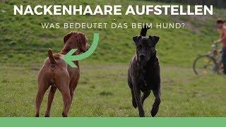 Nackenhaare aufstellen - was bedeutet das beim Hund? | Ulrike Seumel