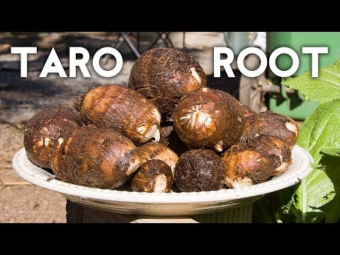 Growing Taro Root Plant - Tips & Harvest