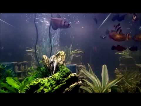 Gopro in my 65 gallon Freshwater Tropical Aquarium (60 FPS)