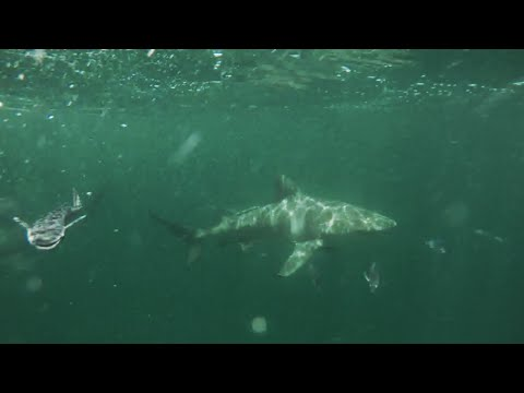 Shark Fishing Florida Wild Kingdom - Sharks Keep Away - Chew On This