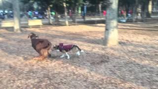 7歳のビーグル犬グッディ、若いアイリッシュセッターにフォーリンラブ。...