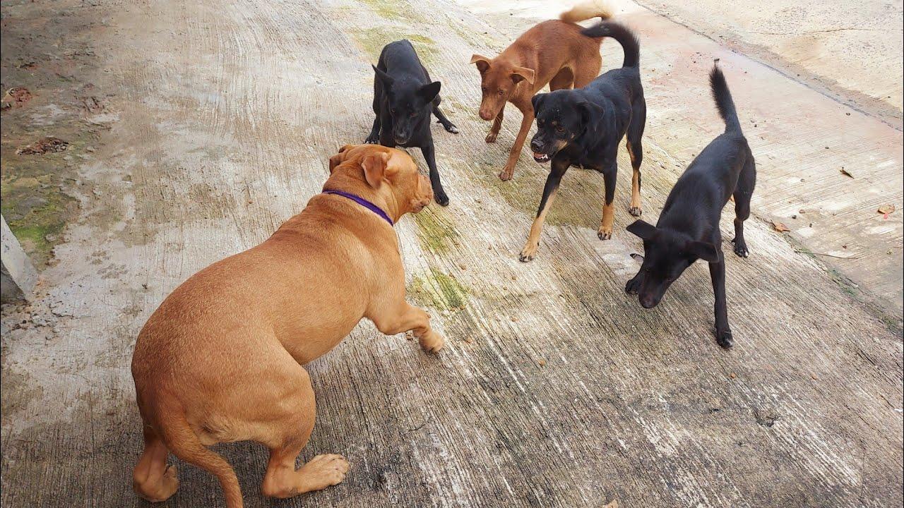 สุนัขพิทบูล สุนัขบางแก้ว ตัวเท่ากัน ใครถอย