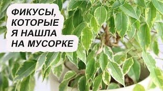 тайный секрет ухода за фикусом. Как заставить расти новые листья