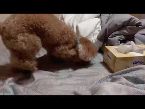 Amber Toy Poodle - Bed Making