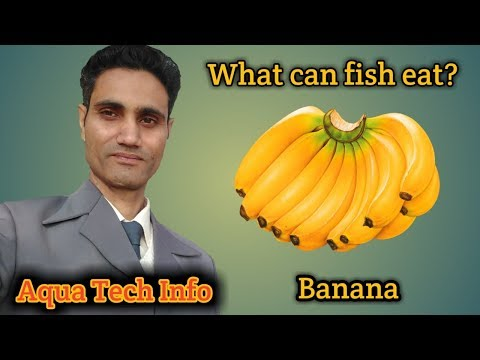 #88. What Can Fish Eat? - Banana