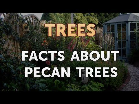 Facts About Pecan Trees
