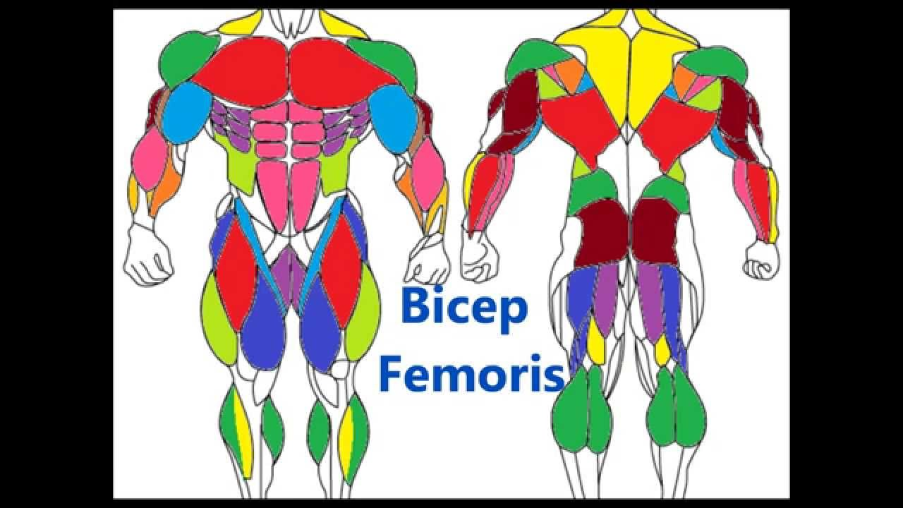 Major Muscle Groups Basic Muscle Anatomy Youtube
