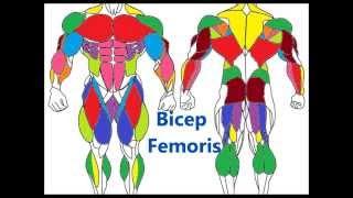 Major Muscle Groups: Basic Muscle anatomy