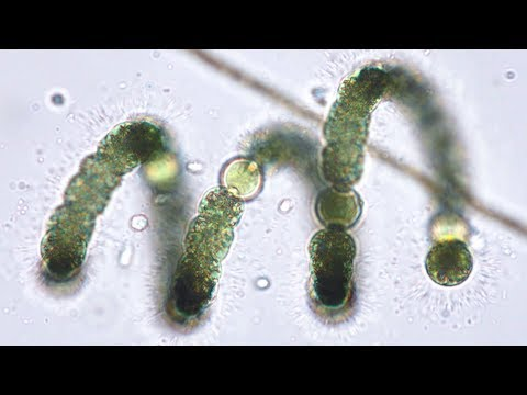 Blue-green Algae (Cyanobacteria) From Pond To Lab - Pondlife, Episode #2