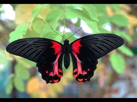 Most Beautiful ButterFly Ever You Seen - YouTube  Most Beautiful ...