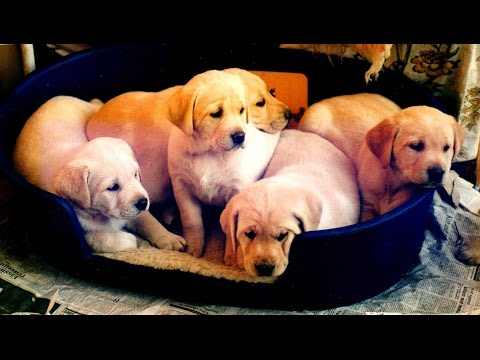 Lab Puppies From Birth To 8 Weeks