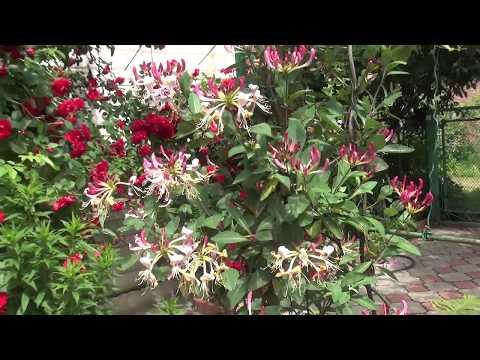 Жимолость вьющаяся - красивое, очень ароматное и полезное растение в саду.