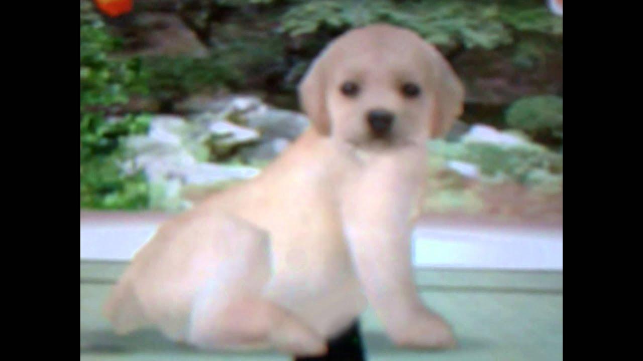 nintendogs cheats how to get puppies