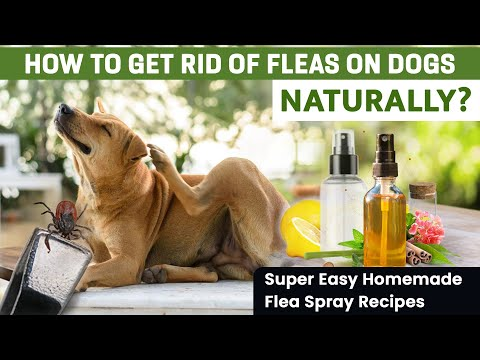How to Get Rid of Fleas on Dogs Naturally? Try These Home Remedies Today