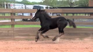 Lucky Star: Gypsy Vanner Horses for Sale | Colt | Black