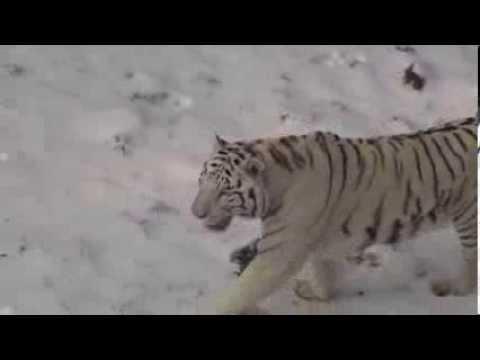 Serengeti Park Weiße Tiger Tollen Im Schnee