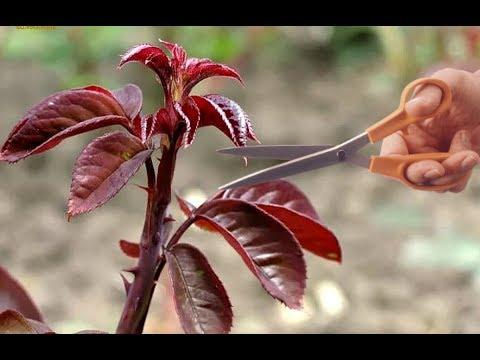 Нужно ли обрезать красные побеги на розах В НОЯБРЕ? Когда обрезать красные побеги на розах?