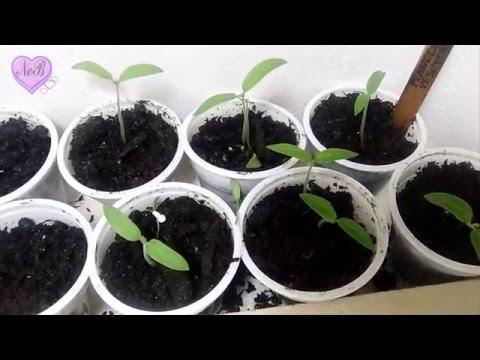Coltivare pomodori in vaso funnycat tv for Scacchiatura pomodori