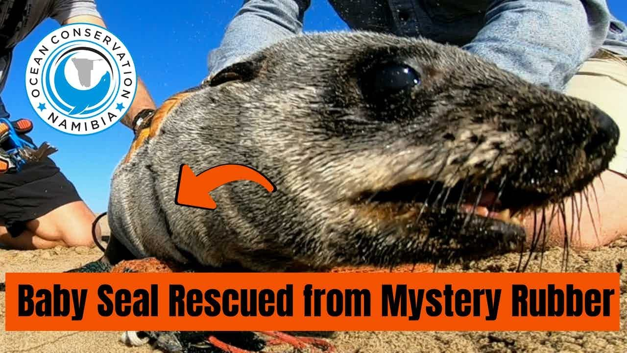 Baby Seal Rescued from Mystery Rubber