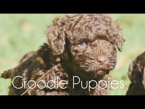 Groodle puppies playing and having fun!