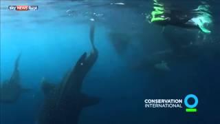 غواص يسبح مع أكبر أنواع القرش