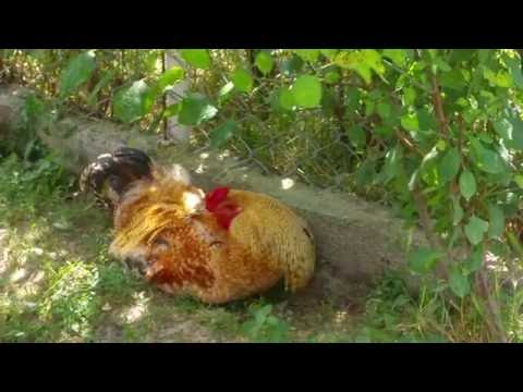 Sleeping Rooster - Chicken Talking Sounds - Animal Alarm Calls