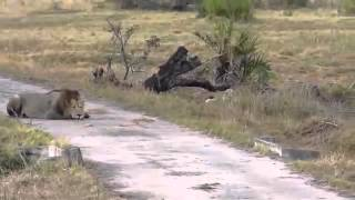 Lion attack two lions kill wild beest baby life NE...