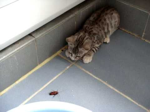 Cat play/torturing Cockroach