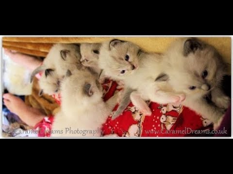 Cute Kittens Playing - 2 Week Old Ragdoll Kittens