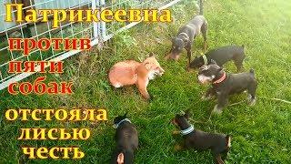 Лиса против собак