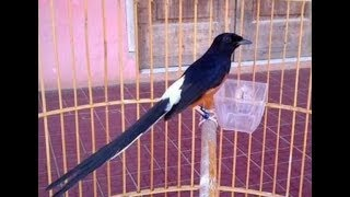 Tips Mengenal Ciri Umum Burung Murai Jambi Beserta Harga Terbarunya