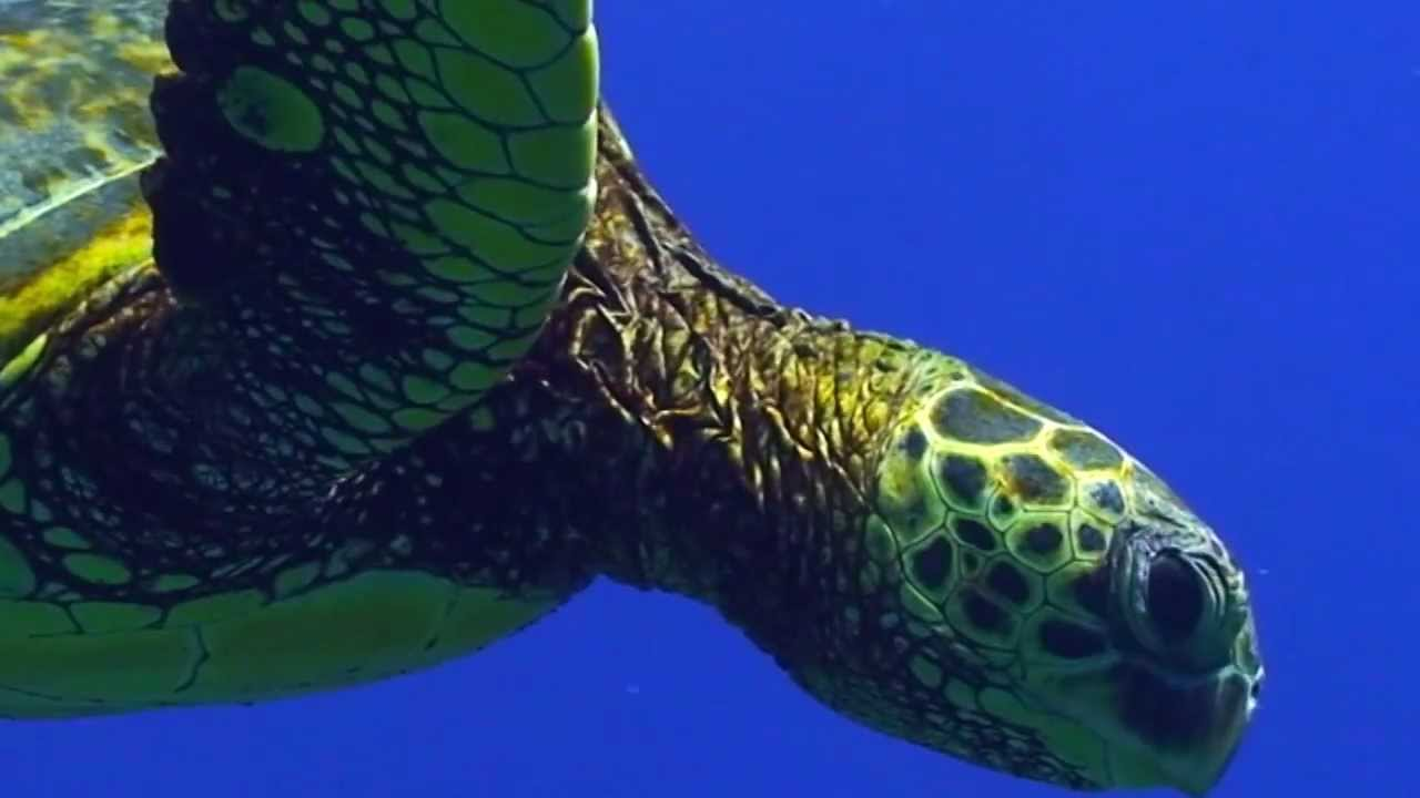 sea turtle migration video youtube