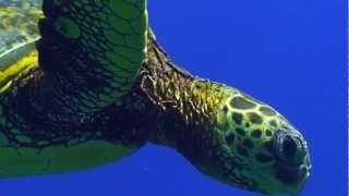 Sea Turtle Migration Video