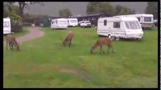 Deer Lochranza Campsite Isle Of Arran