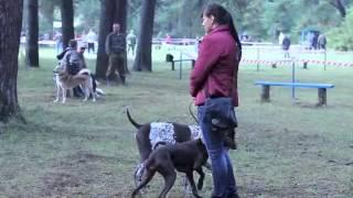 Четвероногие охотники: В Кирове прошла выставка охотничьих собак
