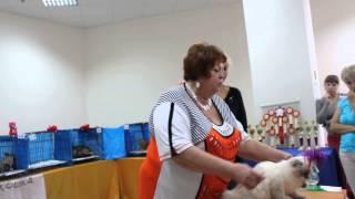 Выставка кошек Аврора Невская Маскарадная Победитель Best Kitten