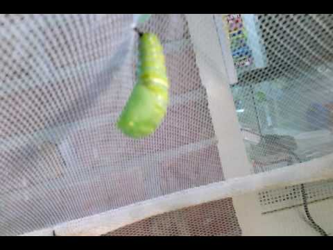 Monarch caterpillar pupating at the Elisabeth Morrow School in NJ!