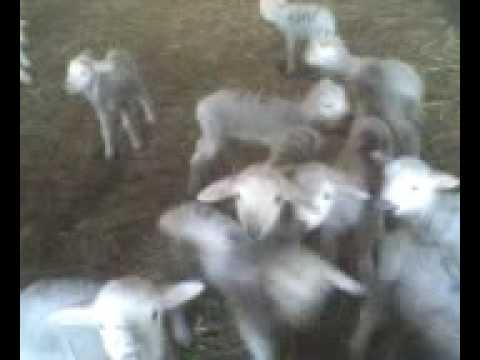 Singing Goat's Choir
