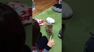 豆柴ななこ 投げやりな「お手」と「おかわり」 http://shibainu-nanako....