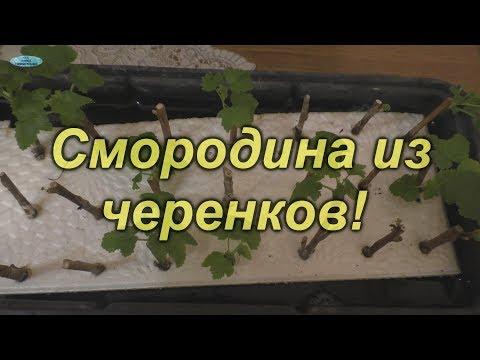 """Размножение смородины """"на воде""""- самый лучший способ!!!"""