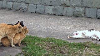 Part 38 猫の貴重な3P映像を撮影。これは強姦(レイプ)に近いか。それをのびのびまったり観察する猫もすごい。 【野良猫物語 総集編】猫...