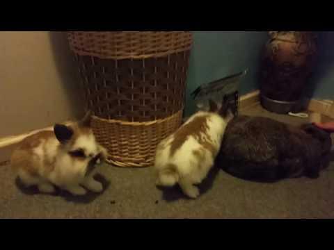 Bonding A Trio Of Male Rabbits | DAY 5 | BONDING RABBITS