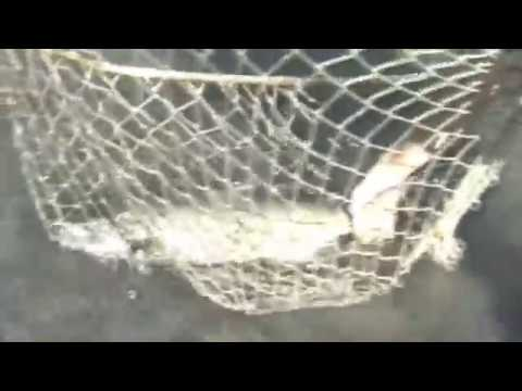 Guadalupe River Chinook salmon archive 1994