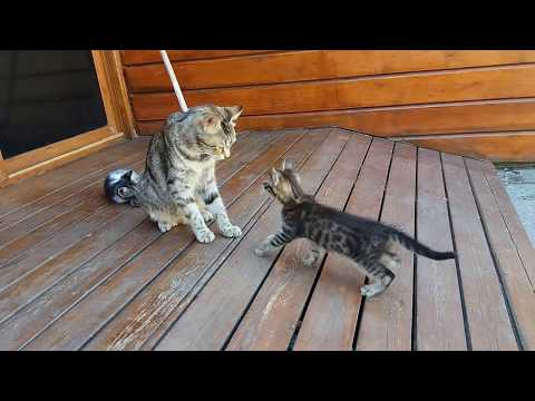 Thumbnail: Mom cat cleaning her kitten by force