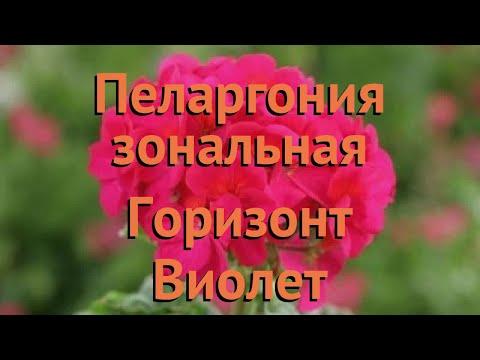 Пеларгония зональный Виолет 🌿 пеларгония Виолет обзор: как сажать семена пеларгонии Виолет