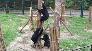 Rescued moon bears are having a party in this tree