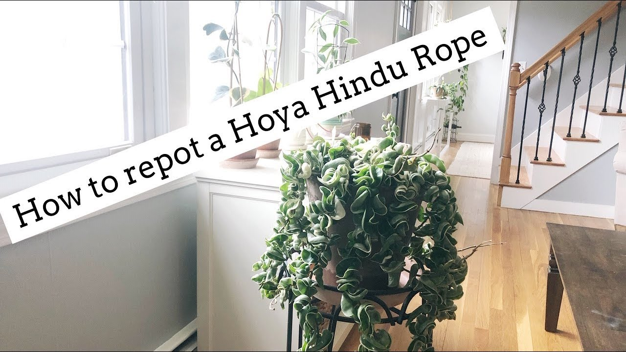 How To Repot A Hoya Hindu Rope Youtube